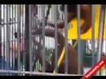 Orangutan Turistin Tişörtünü Gasp Etti