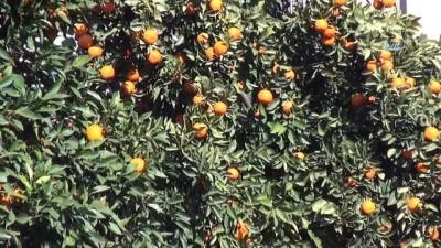 Sokaktaki turunçlar reçele dönüşüyor