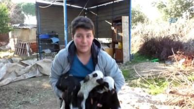 Annesinin sütü yetmeyen kuzuları keçi sahiplendi