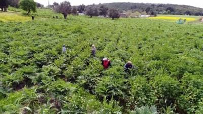 Karaciğer dostu enginar bahçelerinde hasat zamanı...Hasat havadan görüntülendi