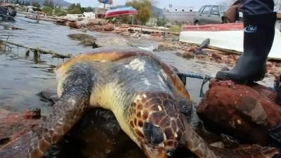 Bodrum'da Caretta caretta sahile vurdu