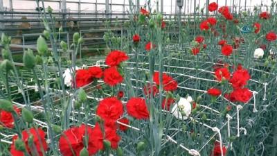 Seracılığa öncü Olacak Projede Zambak Ve Karanfiller çiçek Açtı