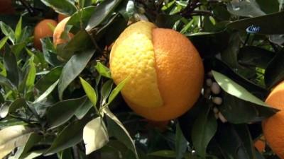 Yarısı limon, yarısı portakal meyve hayrete düşürdü