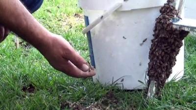 Arılar bulvarı istila etti...Bal arılarını çıplak elle toplayıp boş kovaya doldurdu