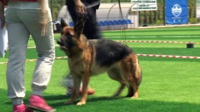 Kocaeli'de Alman çoban köpekleri güzellikleriyle yarıştı