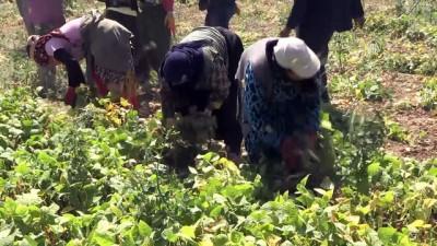 Kuru fasulyede ilk hasat Niğde'de başladı