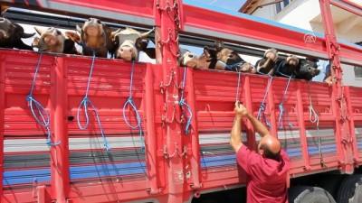 Suluova'da kurbanlık hayvan sevkiyatı başladı - AMASYA