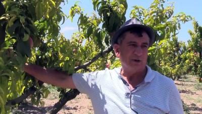 Osmaneli'de şeftali ve üzüm bereketi - BİLECİK