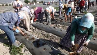 Silifke'de çilek fide ekimi başladı - MERSİN