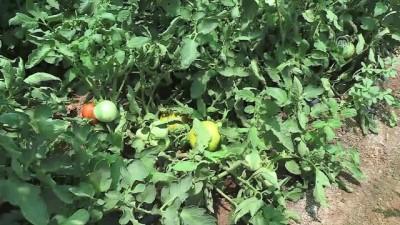Güneydoğu'da verimli domates arayışları - ŞANLIURFA