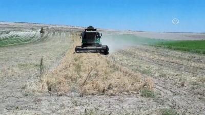 Beypazarı'nda nohut hasadı başladı - ANKARA