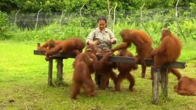 Endonezya'da orangutanlar için vahşi hayata uyum eğitimi