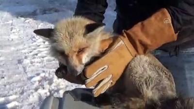 Yaralı tilki yavrusu tedaviye alındı - HAKKARİ