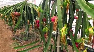 Kumluca'da serada Pitahaya hasadı başladı
