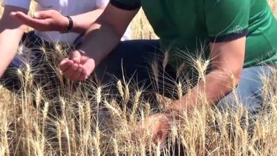 Ahlat'ta hava şartları buğdayda rekolteyi düşürdü - BİTLİS