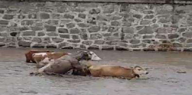 Ordu'da sele kapılan büyükbaş hayvanlar böyle görüntülendi