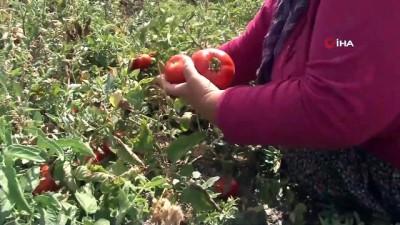 Bir asırlık tohumdan ürettiği Ayaş domatesi siparişine yetişemiyor