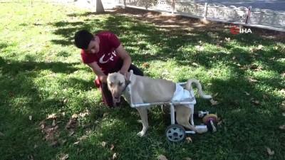 Yaşamaz denilen felçli köpek için her şeyi yaptı