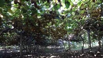 Çatalzeytin'de kivi hasat şenliği yapıldı - KASTAMONU