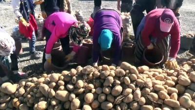 Ahlat Ziraat Odası Başkanı Demirden: 'Tohumluk patates üretiminin yüzde 17'si Ahlat'tan karşılanıyor' - BİTLİS