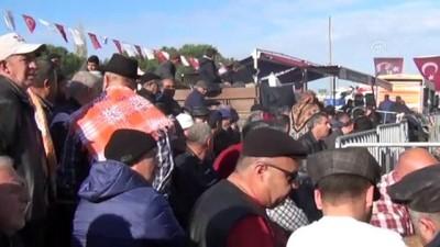 Ayvalık'ta deve güreşi festivali - BALIKESİR