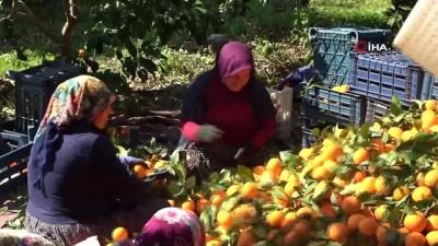 Kadınlar Gününü portakal hasadıyla geçirdiler