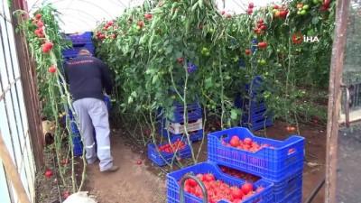 Seralarda sebze üretimi hız kesmeden devam ediyor