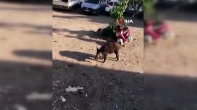 Bodrum'da şehre inen domuzu böyle beslediler