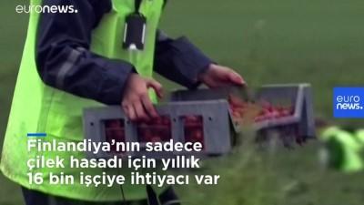 Finlandiyalılar, yabancı işçiler gelemeyince 22 yıl sonra çilek tarlalarına geri döndü