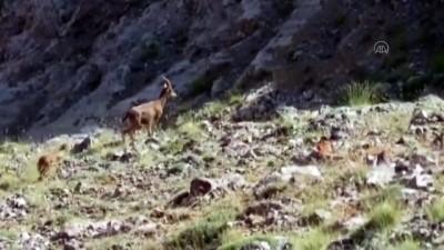 Koruma altındaki yaban keçileri görüntülendi - KAYSERİ