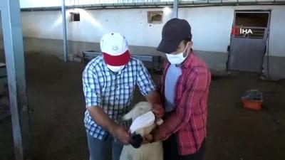 Kurbanlık koyunlar maske takılarak kurban edildi