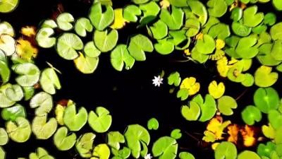 Eşsiz güzelliğe sahip nilüferler suda görsel şölen sunuyor - KONYA