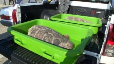 Tedavisi biten kaplumbağalar denizle buluştu