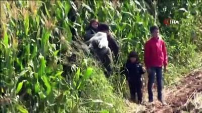 Ayvalık'ta mısır tarlasında gizlenen 50 düzensiz göçmen yakalandı