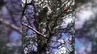 Köpeklerin saldırısından kaçan vaşak, ağaca çıkarak kurtuldu