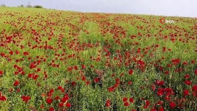 Tekirdağ'da tarlalar kırmızıya boyandı