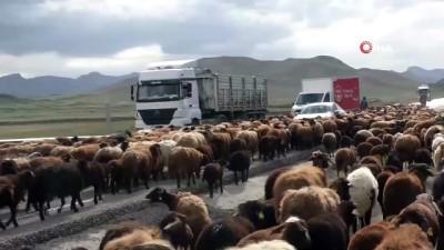 Tarım arazilerine zarar vermemek için binlerce koyunu asfalt yoldan geçiriyorlar