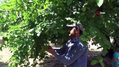 Bursa'nın meşhur papaz eriği çiftçinin yüzünü güldürüyor