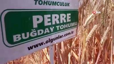 Türkiye'nin yerli ve milli tohumu Adıyaman'da üretiliyor
