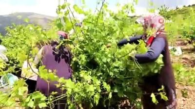 Asma yaprağı üreticiyi sevindiriyor