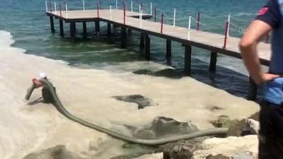 ÇANAKKALE - Belediye ekipleri sahilde müsilaj temizlik çalışması başlattı