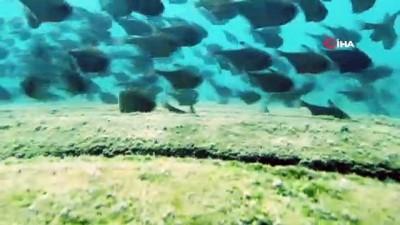 Dünyaca ünlü sahilde Kızıldeniz'den gelen üçgen balıklarının görsel şöleni