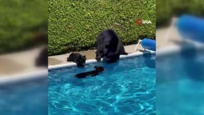 - Kanada'da rekor sıcaklıklardan bunalan ayılar çareyi havuzda buldu