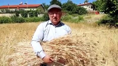 Menteşe'de 'Karakılçık' hasadı başladı