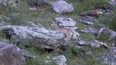 Kars-Göle yoluna kurtlar indi