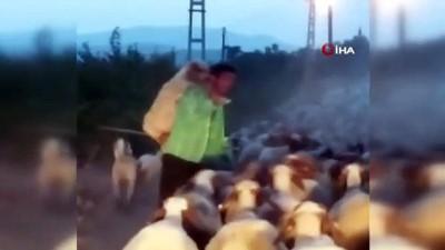 Yorulan koyunu ahıra kadar sırtında böyle taşıdı